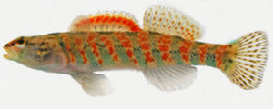 Christmas Darter, Etheostoma hopkinsi hopkinsi, Stevens Creek tributary (Edgefield County, SC). Photo by Dustin Smith. Courtesy: North American Native Fishes Association (www.nanfa.org).