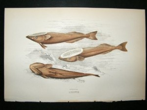 couch-1867-antique-fish-print.-remora-25003-p[ekm]416x312[ekm]
