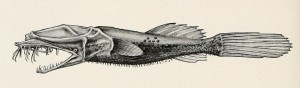 "Thaumatichthys pagidostomus. From: H. M. and L. Radcliffe. 1912. Description of a new family of pediculate fishes from Celebes. [Scientific results of the Philippine cruise of the Fisheries steamer ""Albatross,"" 1907-1910. No. 20.]. Proceedings of the United States National Museum v. 42 (no. 1917): 579-581, Pl. 72."