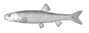 Evarra eigenmanni, type species of Evarra. From: Woolman, A. J. 1894. Report on a collection of fishes from the rivers of central and northern Mexico. Bulletin of the U. S. Fish Commission v. 14 (art. 8) (for 1894): 55-66, Pl. 2.
