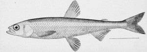 Image: Hypomesus olidus. From: McDonald, M. 1894. Report on the Salmon Fisheries of Alaska. Bulletin of the United States Fish Commission, vol. 12, 1892.