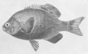 Embiotoca jacksoni, from: Tarp, F. H. 1952. A revision of the family Embiotocidae (the surfperches). Fish Bulletin of the Division of Fish and Game of California No. 88: 1-99.