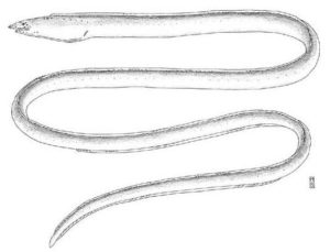 From: McCosker, J. E. and R. J. Lavenberg. 2001. Gordiichthys combibus, a new species of eastern Pacific sand-eel (Anguilliformes: Ophichthidae). Revista de Biología Tropical v. 49 (Suppl. 1): 7-12.